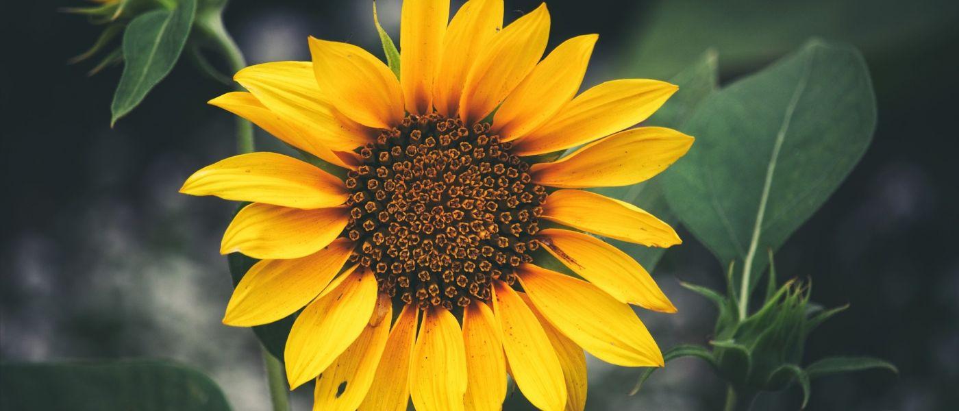 sunflower-2084688_1920-1400x600