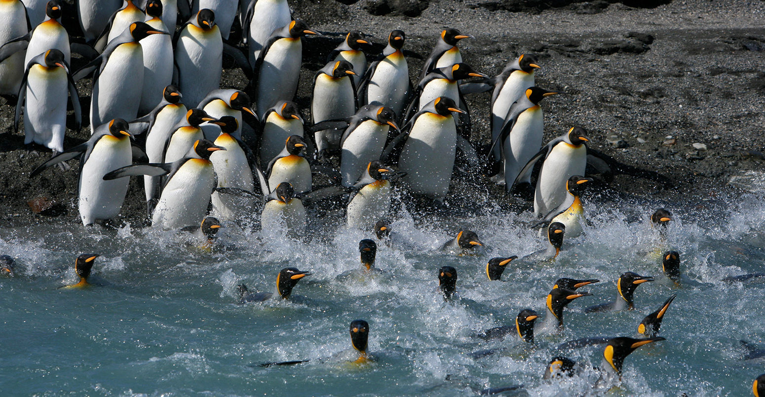 King penguins (Aptenodytes patagonicus) crossing water to reach breeding site, South Georgia. Taken on location for BBC Frozen Planet series, 2008