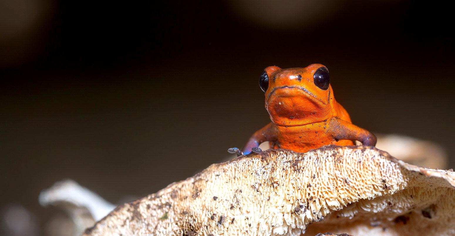 "Strawberry Poison Frog, ""Oophaga pumilio""-Sarapiqui, Costa Rica"