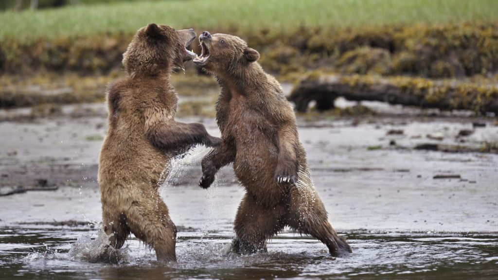 Bear-fight-e1545344202640