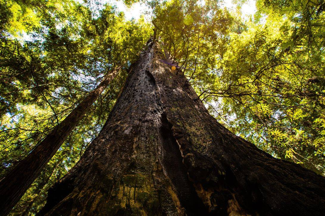 for-redwoods-climate-change-all-grow-redwood-trees-excellent-home-improvement-planting-backyard-clay-soil-spacing